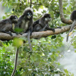 Stock Photo: Dusky leaf monkeys