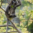 Stock Photo: Dusky leaf monkey