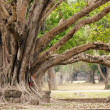 Big ficus tree — Stock Photo