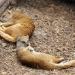 Yellow mongoose sleeping - Foto Stock