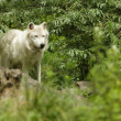 White artic wolf - Stock Photo