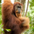 Oranguthanging on liana — Stock Photo #13383385