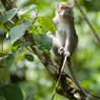 long tailed macaque — Stock Photo