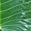 Stock Photo: Elephant ear leaf