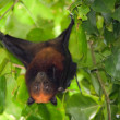 Flying fox bat — Stock Photo
