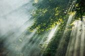 Mystical sunlight rays in trees — Stock Photo