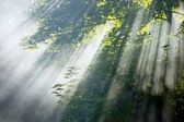 Sunlight beams in forest — Stock Photo