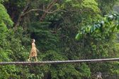 Woman walking on jungle bridge — Stok fotoğraf