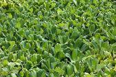 Water lettuce — Stock Photo