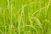 Paddy rice detail — Stock Photo