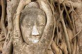 Buddha head in vines — Stock Photo
