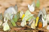 Butterfly swarm — Stock Photo