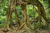 Large fig tree roots — Stock Photo