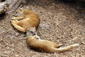 Yellow mongoose sleeping — Stock fotografie