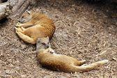 żółty mongoose, spanie — Zdjęcie stockowe