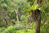 Paproć tropikalna epifit — Zdjęcie stockowe