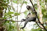 Thomas leaf monkey — Stock Photo