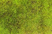 Moss background — Stock Photo