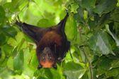 Flying fox bat — Stock Photo