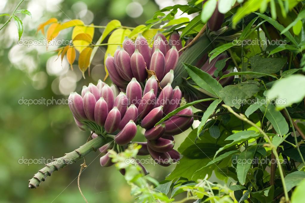 Banane viola su albero foto stock smithore 13382582 for Albero di banane