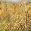Ripe rice detail — Stock Photo