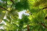 árvore samambaia — Foto Stock