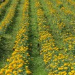 Marigold flower field — Stock Photo #19531945