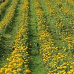 Marigold flower field — Stock Photo #19531945