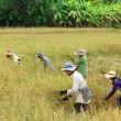 Thailand Rice harvest — Stock Photo