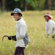 Rice workers — Stock Photo