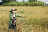 Rice farmer in field — Stock Photo
