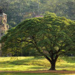 Large tree and temple — Stock Photo