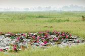 Lilie wodne ild — Zdjęcie stockowe