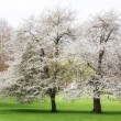Stock Photo: Cherry tree spring
