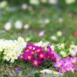 Primrose flowerbed — Stock Photo