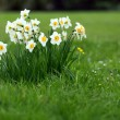 Daffodils bunch — Stock Photo
