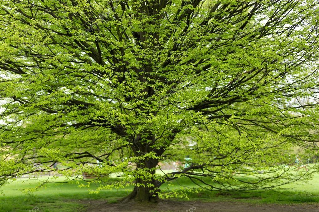 arbre de charme au printemps photographie smithore 25303663. Black Bedroom Furniture Sets. Home Design Ideas