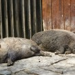 Two wild pigs — Stock Photo