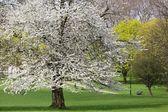 Cherry tree spring — Stock Photo