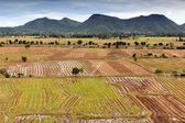 Asian rice field — Stock Photo