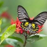 Golden birdwing butterfly — Stock Photo #30501843