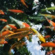 Koi carps in pond — Stock Photo