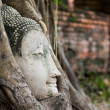 Buddha head in roots — Stock Photo
