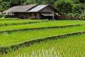 Campo di riso di fattoria e terrazza — Foto Stock