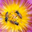Bees in waterlily — Stock Photo