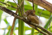 Filipino Tarsier — Stock Photo