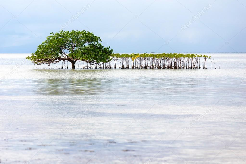 Albero di mangrovia bella cresce in riva al mare foto for Piani di fattoria sotto 2000 piedi quadrati
