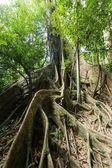 Büyük incir ağacı — Stok fotoğraf