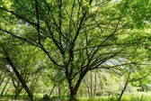 Maple tree at spring — Stock Photo
