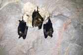 Three bats in a cave — Stock Photo